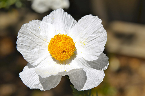 Windblown Poppy