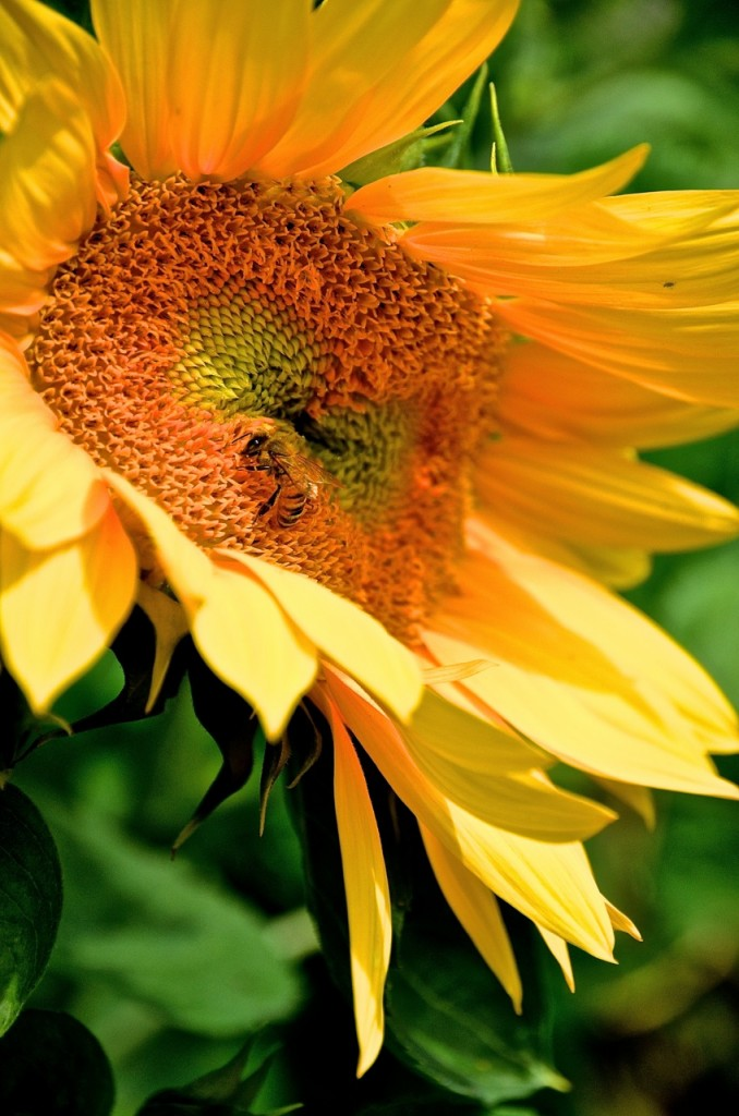 Sunflowers and bees - what could be more inspiring?