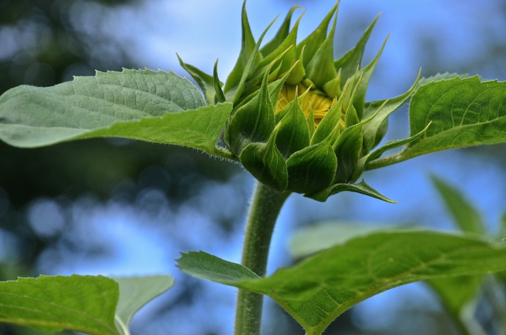 Sunflower about to bloom.